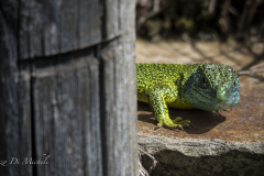 Good morning green lizard - ramarro